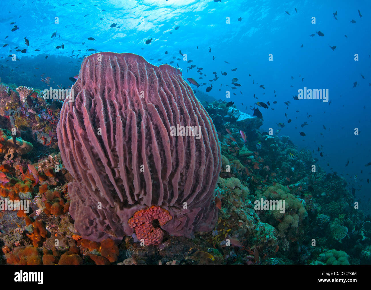 Coral reef seascape featuring large red barrel sponge with blue water background. Verde Island, Philippines. - Stock Image