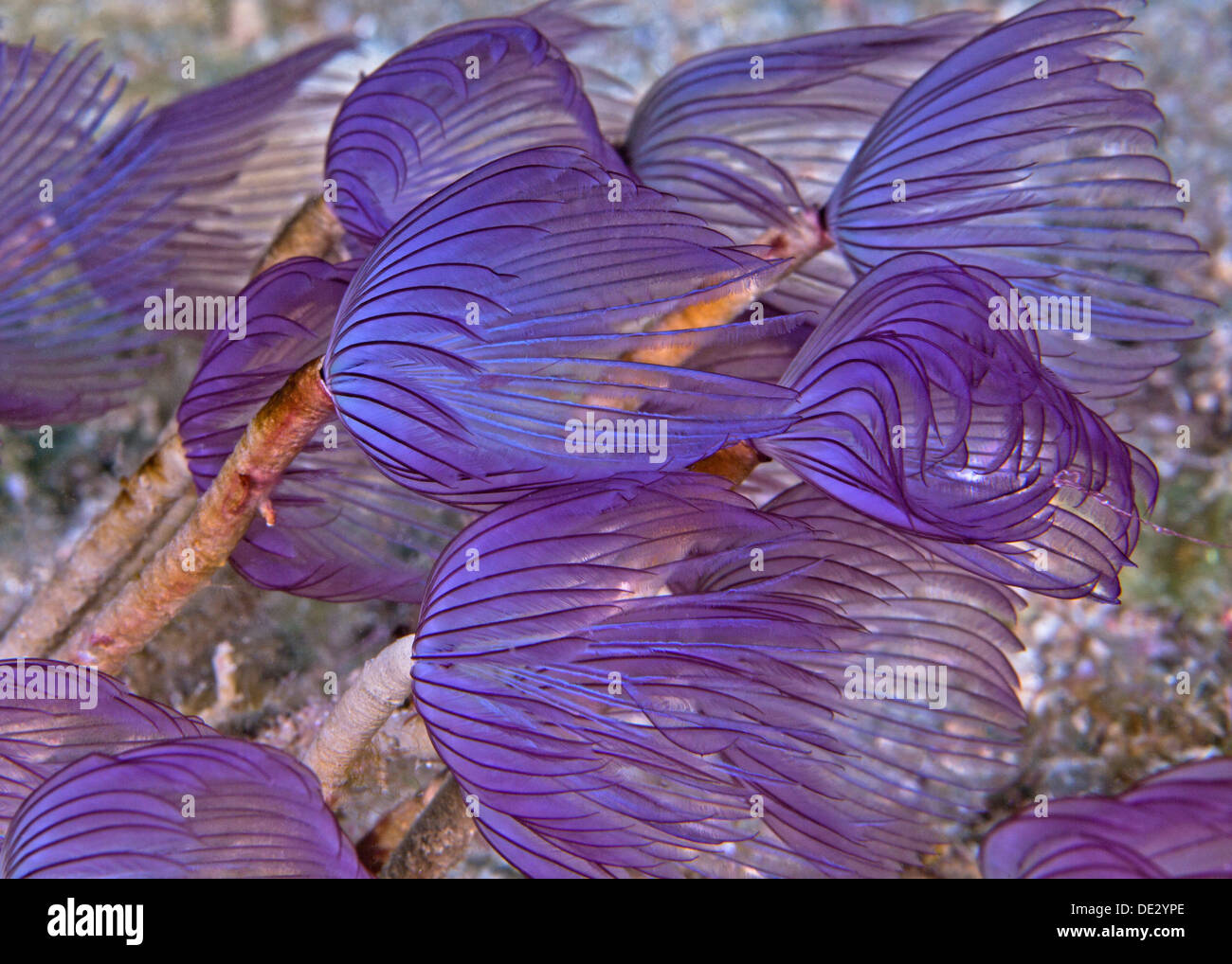 Purple featherduster worms rippling in ocean current. Puerto Galera, Philippines. Stock Photo