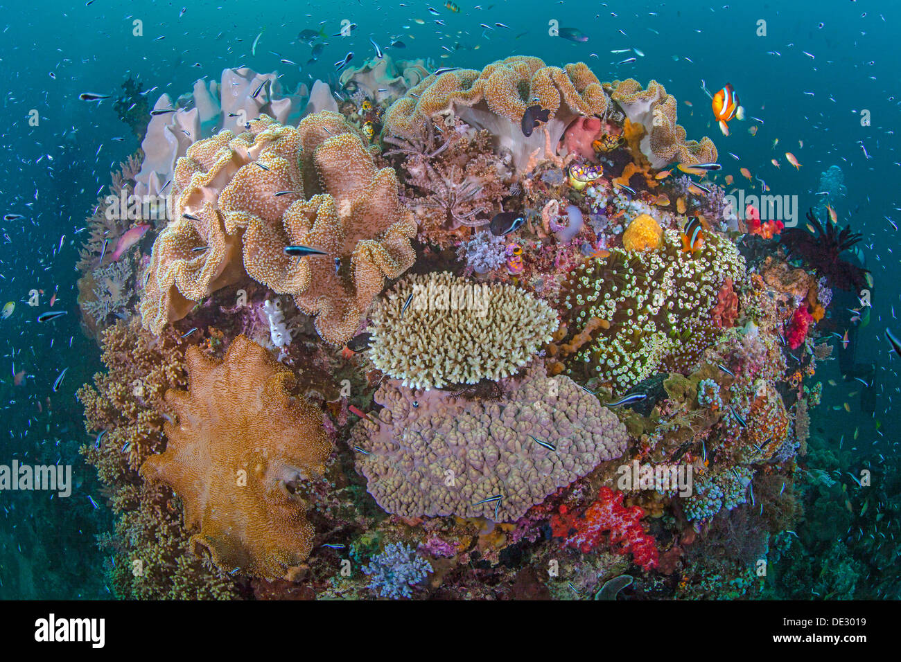 Vibrant coral reef with diversity of marine life. Raja Ampat, Indonesia - Stock Image