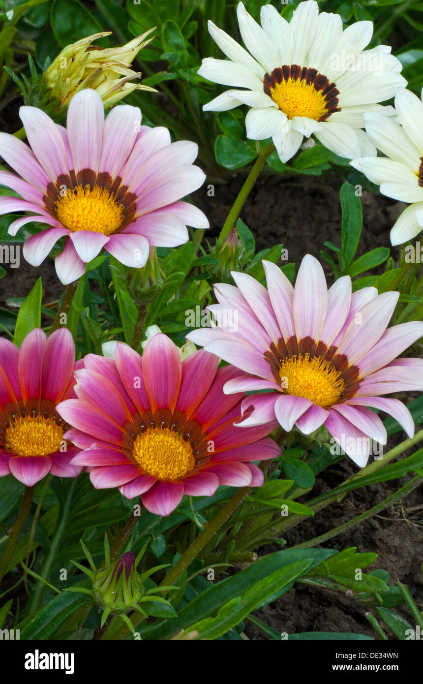 Beautiful Colorful South African Gazania Flowers Blooming In The