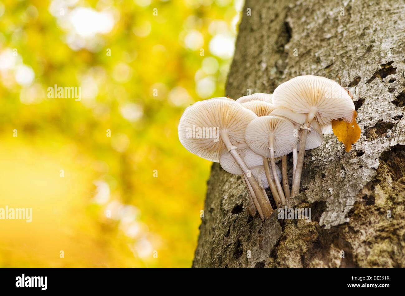Primeval beech forest trunk of beech with agaric (Oudemansiella mucida), Steigerwald, Bavaria, Germany - Stock Image