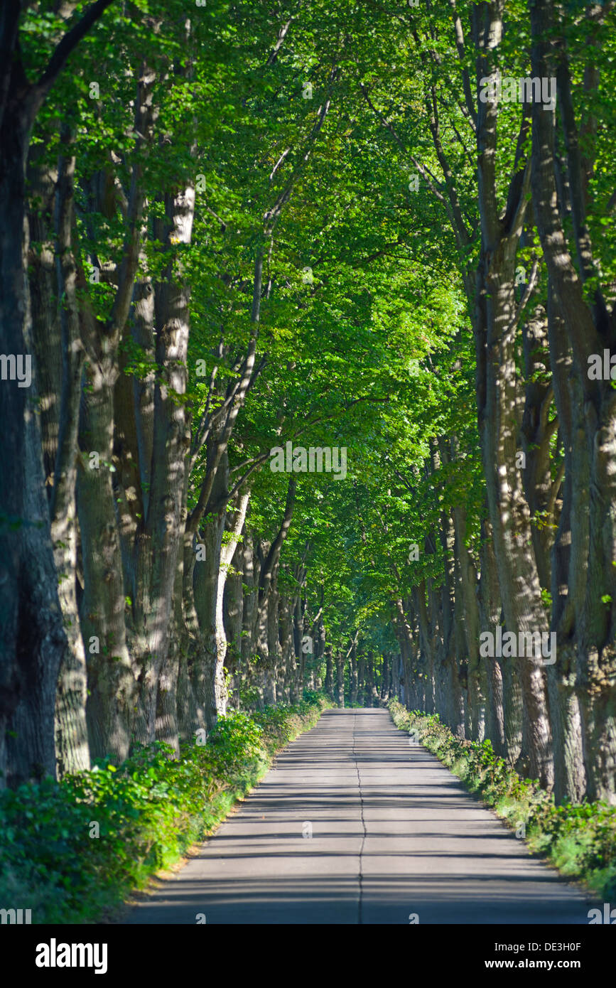 Avenue leading to the village of Krummin, Usedom Island, Germany - Stock Image