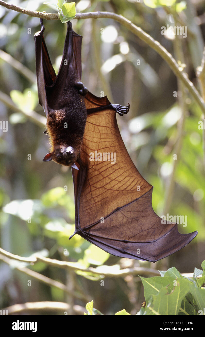 Red flying fox hanging upside down in tree with extended wing (Pteropus scapulatus), Komodo Island, Indonesia - Stock Image