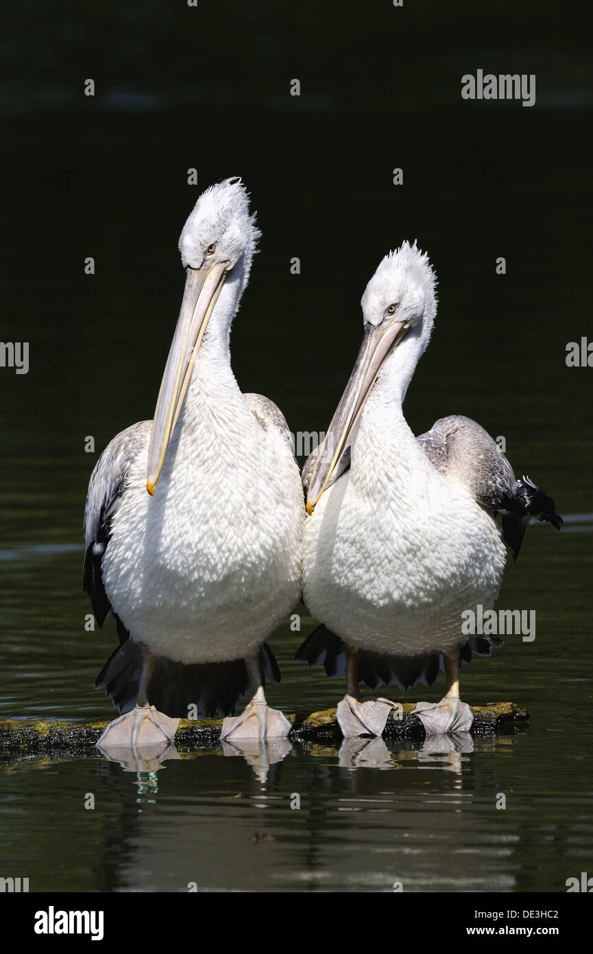 Two Dalmatian pelican on water (Pelecanus crispus) IUCN red list of endangered species VU, vulnerable, seabird - Stock Image