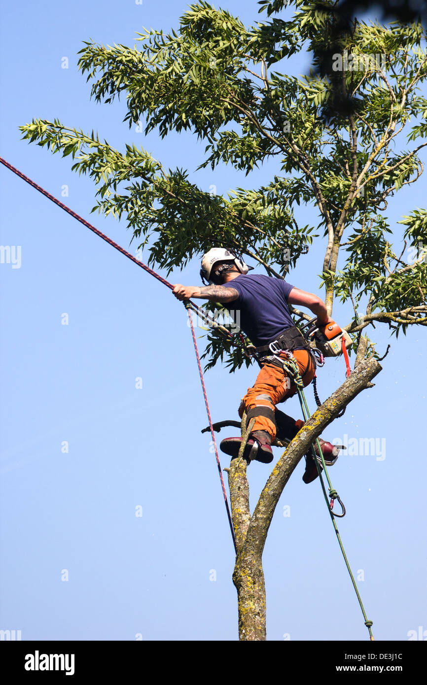 Tree surgeon at work bringing down a tree. Wiltshire England. Stock Photo