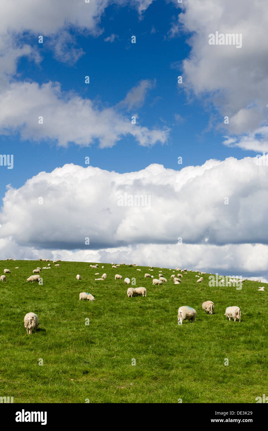 Flock of sheep on a hillside field in Powys, Wales, UK - Stock Image