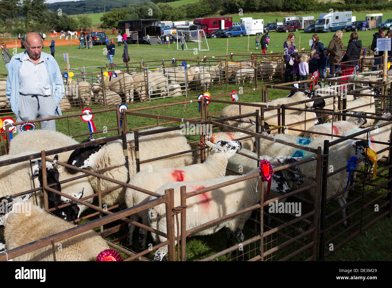 Prize winning sheep in pens at a Welsh country show, Powys, Wales, UK - Stock Image