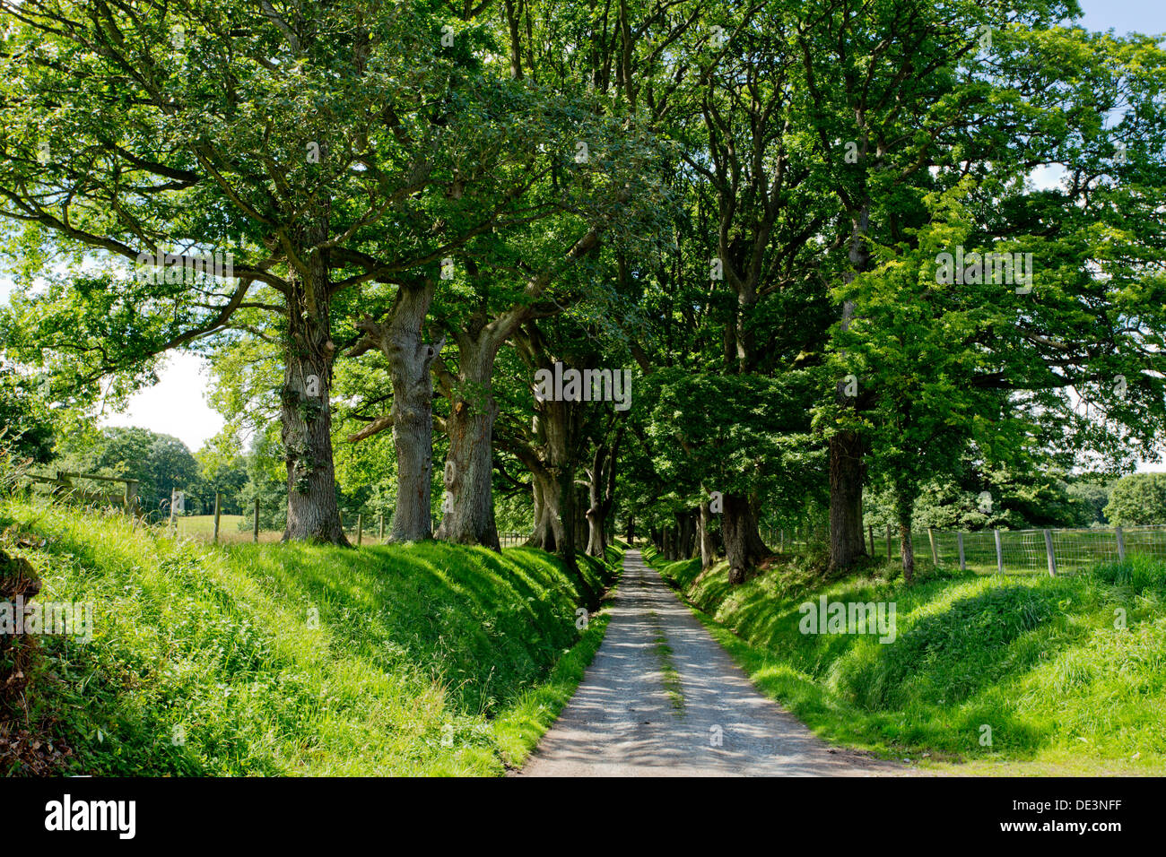 Avenue of trees in afternoon sunshine at Michaelchurch Escley, Herefordshire - Stock Image