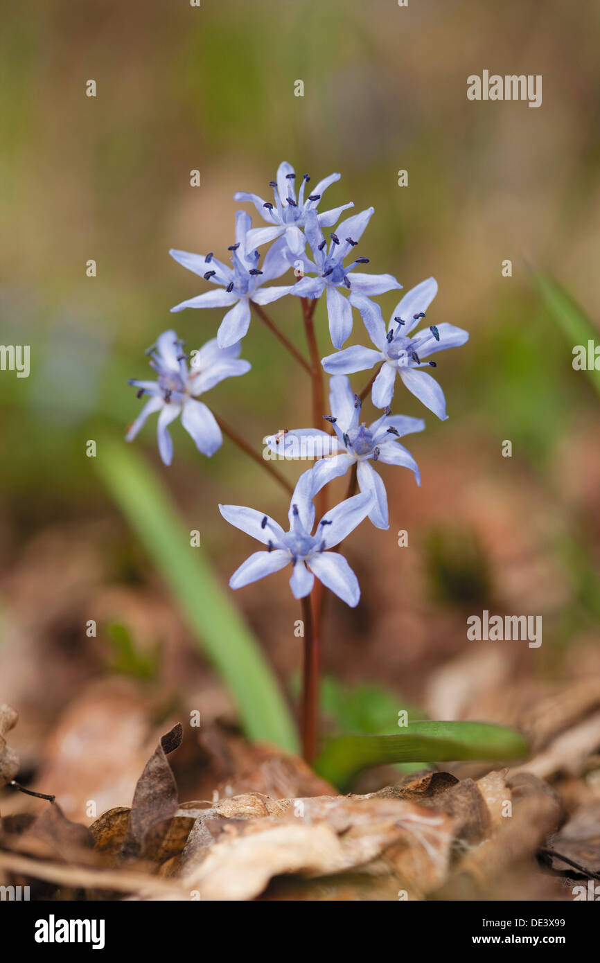 Two-leaf Squill, Alpine Squill (Scilla bifolia), flowering plant - Stock Image