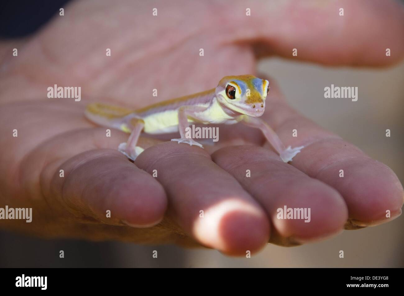 colorful Palmato Gecko, one of the creatures of the Namib Naukluft Desert in Namibia Stock Photo