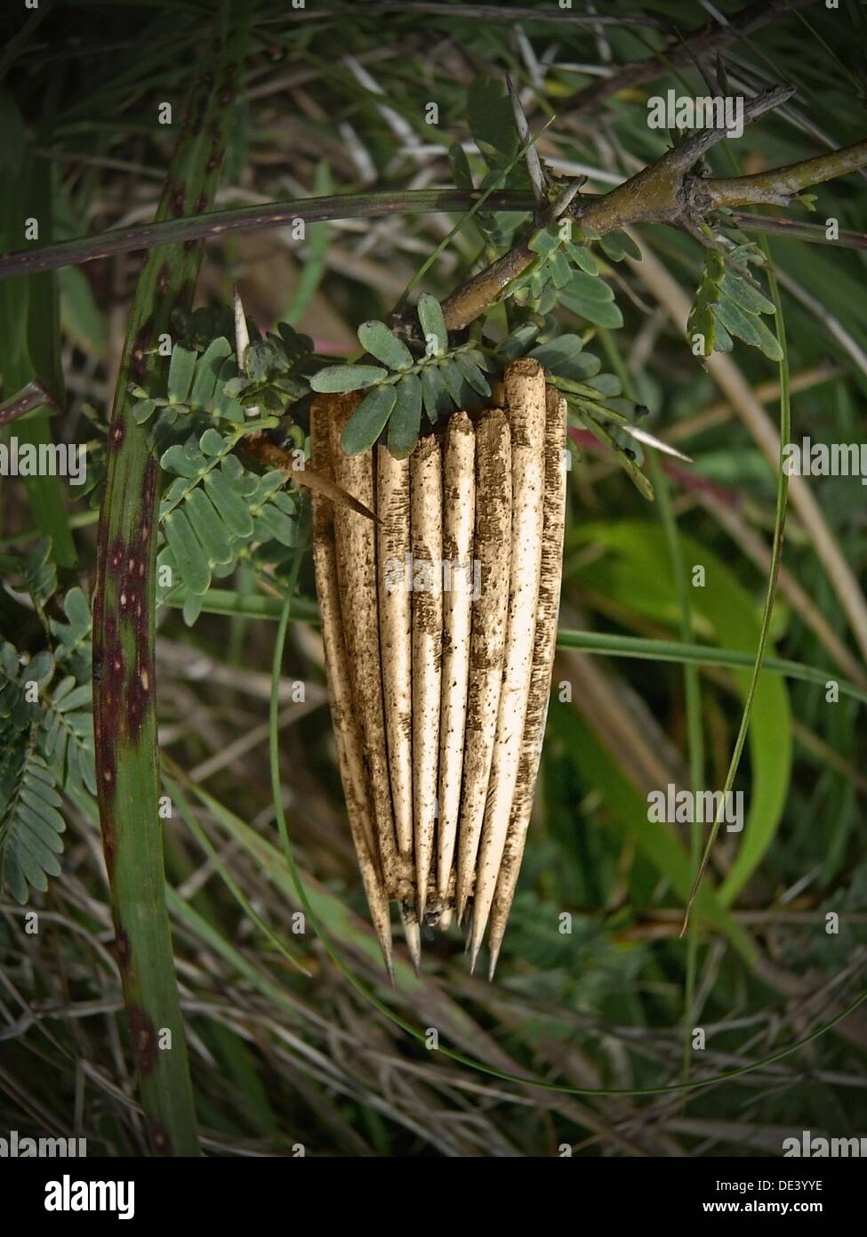 Bag worm pupa Moth Bag, Thyridopteryx ephemeraeformis - Stock Image