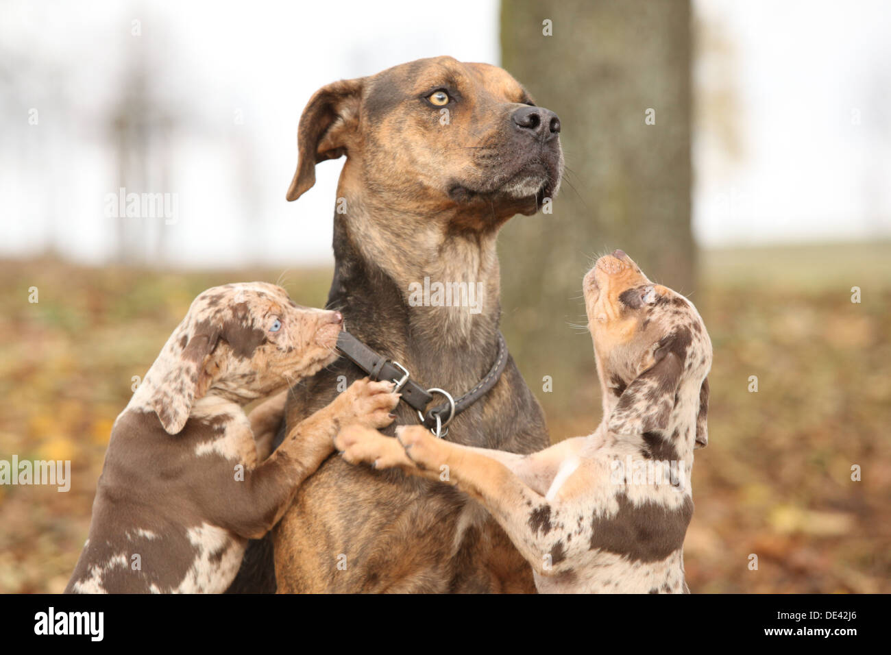 louisiana catahoula leopard dog puppy stock photos  u0026amp  louisiana catahoula leopard dog puppy stock