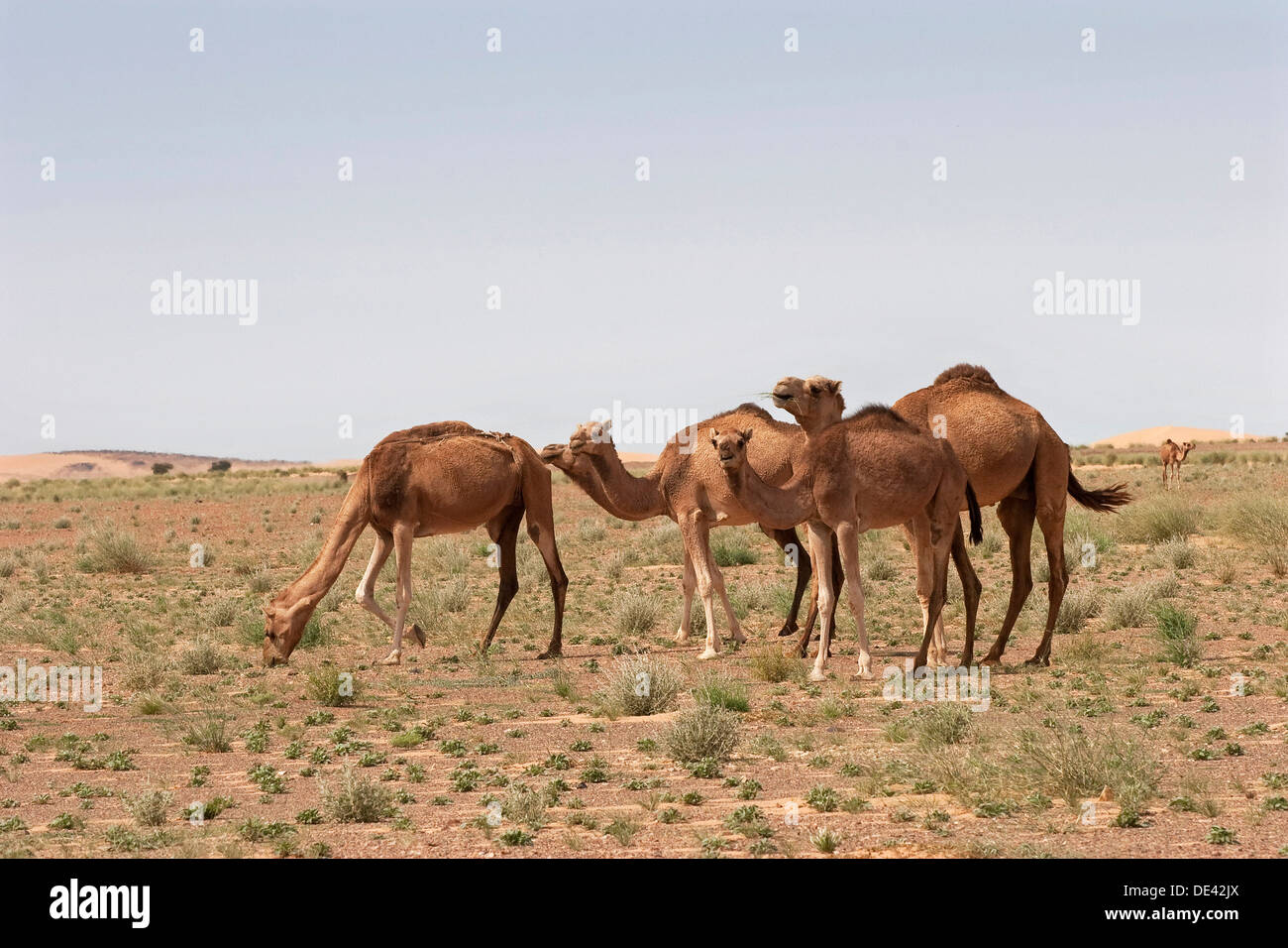 Dromedary camels grazing on grass in desert of Western Sahara after recent rare rainfall, Mauritania - Stock Image