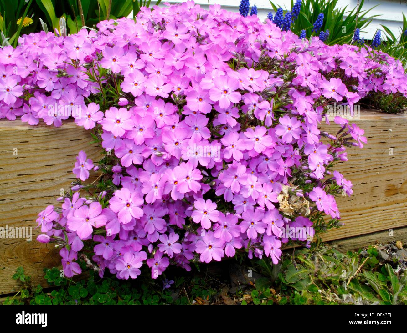 phlox flower flox stock photos phlox flower flox stock images alamy. Black Bedroom Furniture Sets. Home Design Ideas