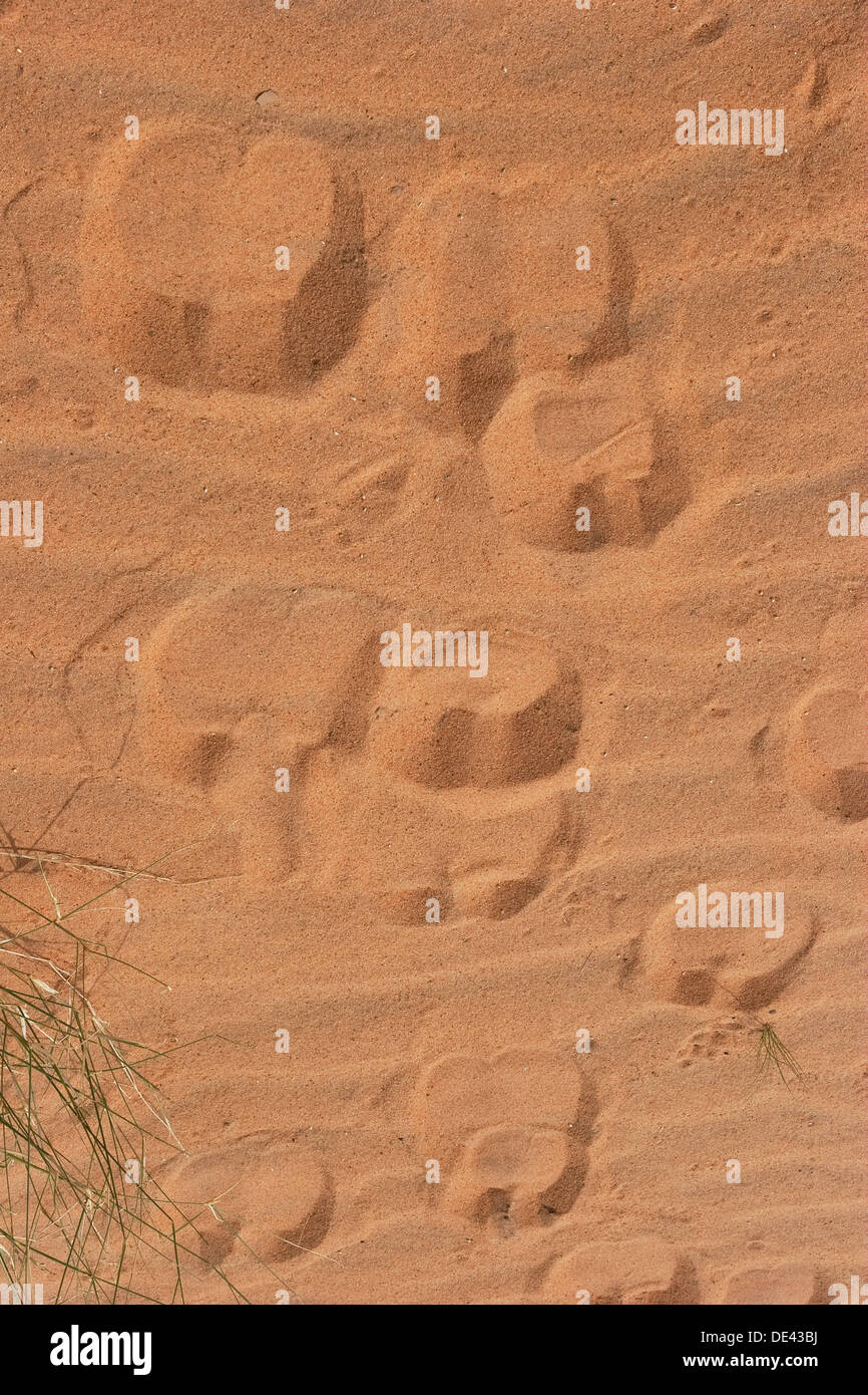 Dromedary camels hoof prints in desert of Western Sahara after recent rare rainfall, Mauritania - Stock Image
