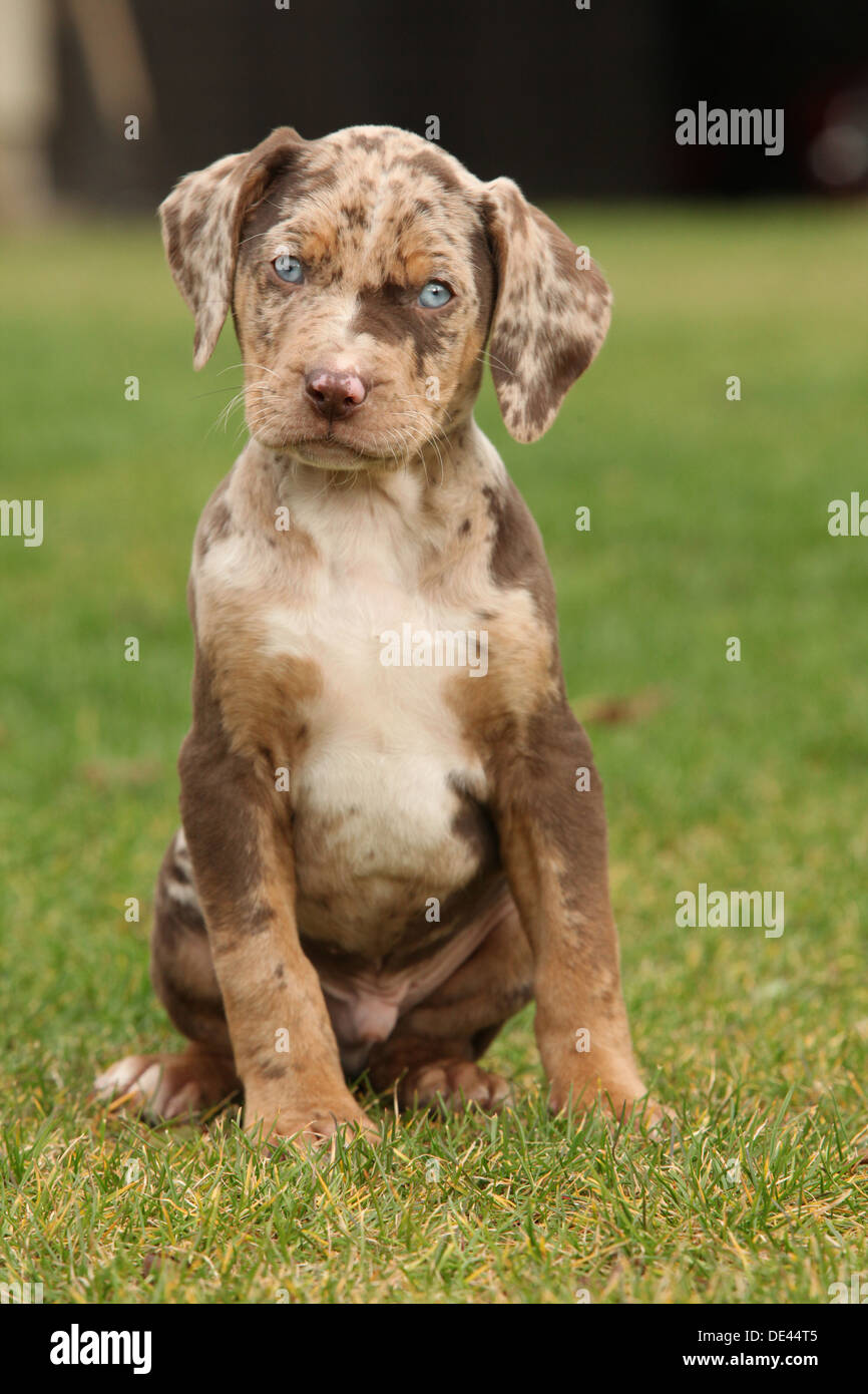 louisiana catahoula puppy on the grass stock photo  60327909