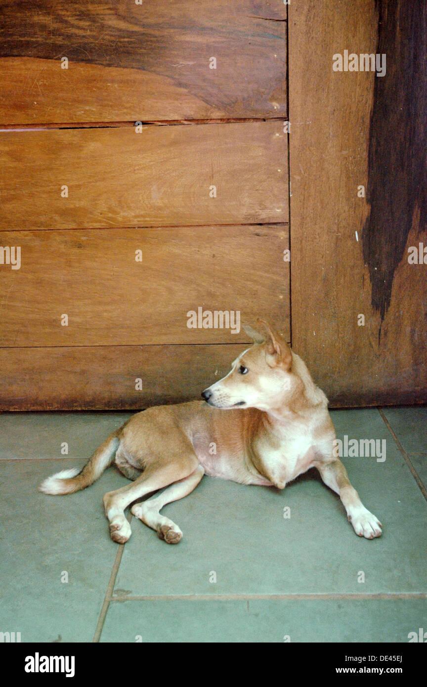 Assagao Goa, India, a crippled dog at the International Animal Rescue center - Stock Image