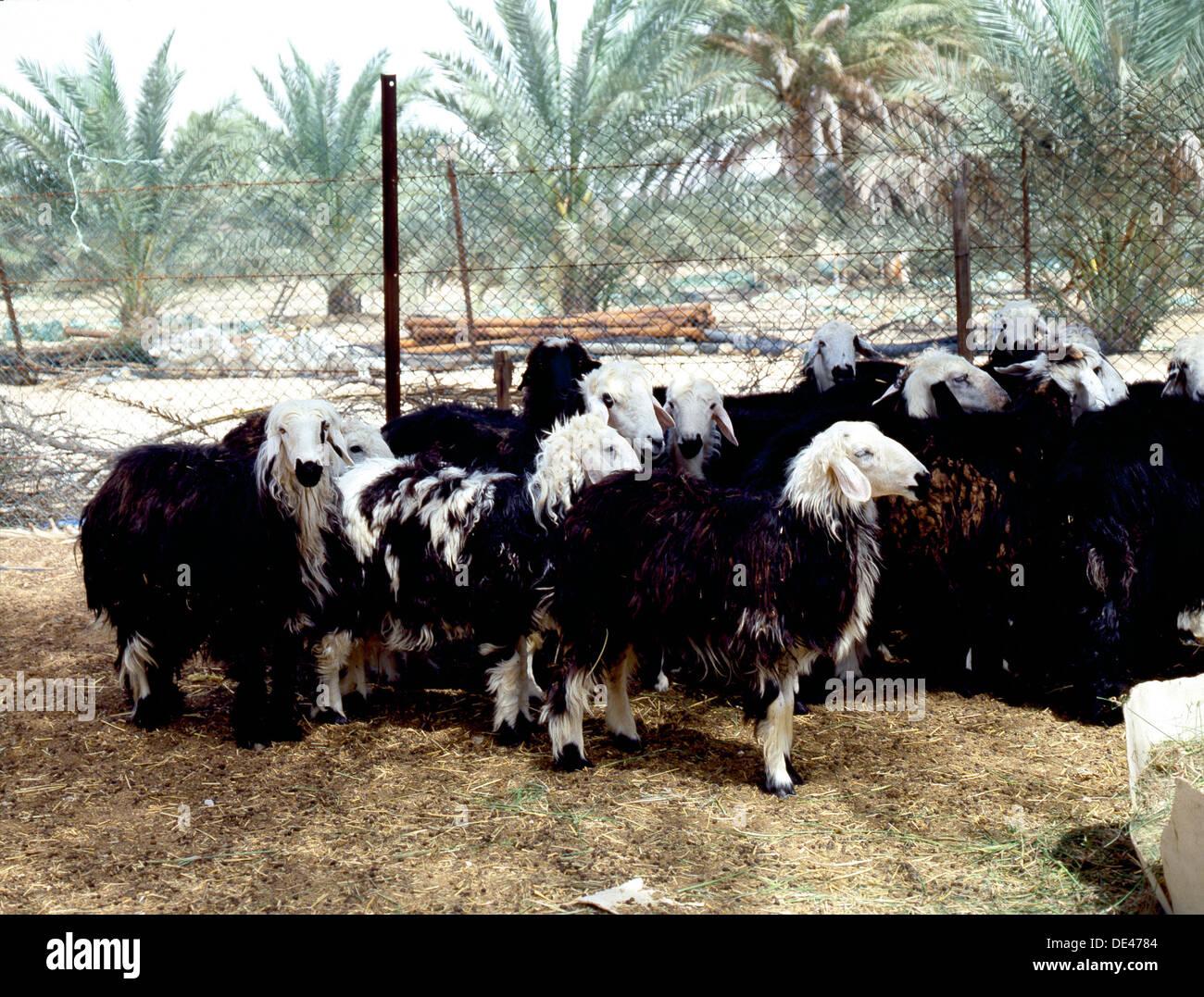 Sheep photographed on Sir Bani Yas Island. - Stock Image