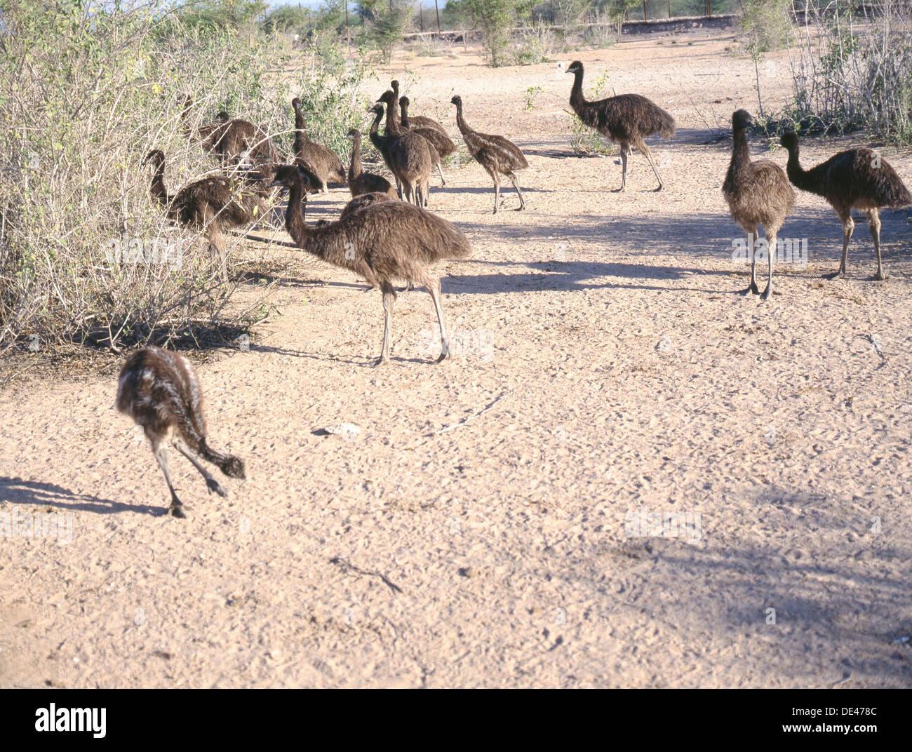 Emus photographed on Sir Bani Yas Island. - Stock Image