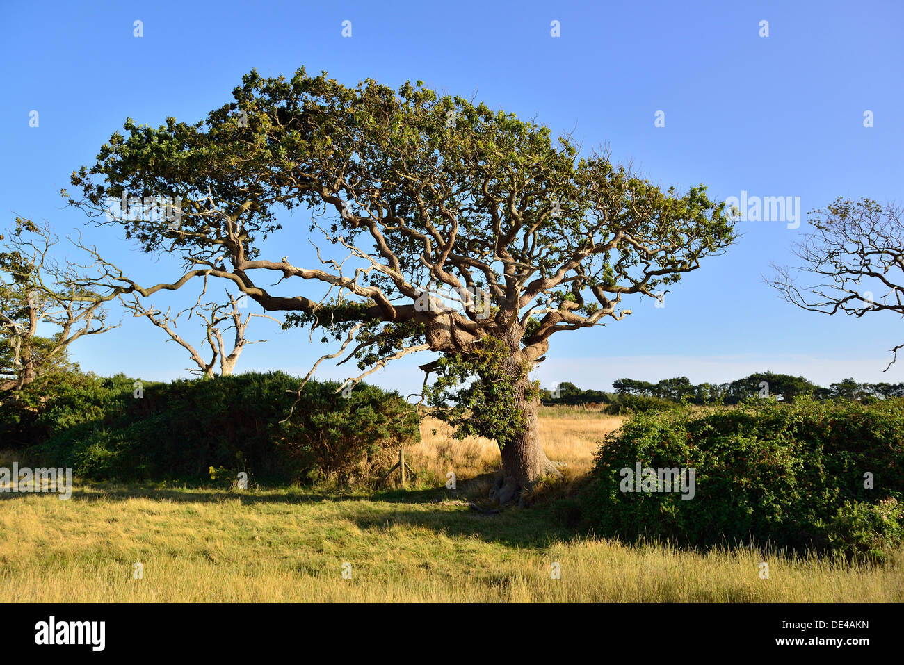 Wind swept tree growing in the opposite direction to the prevailing wind .Chichester  Harbour near Itchenor West Sussex - Stock Image