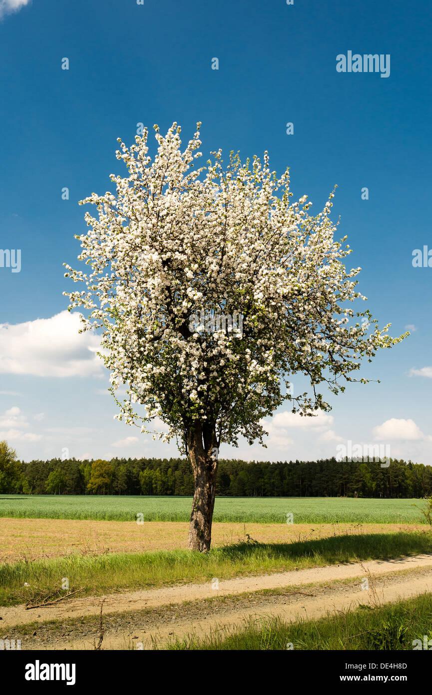 Brandenburg, Germany, Apple Tree in Uckermark in the vicinity of Templin - Stock Image