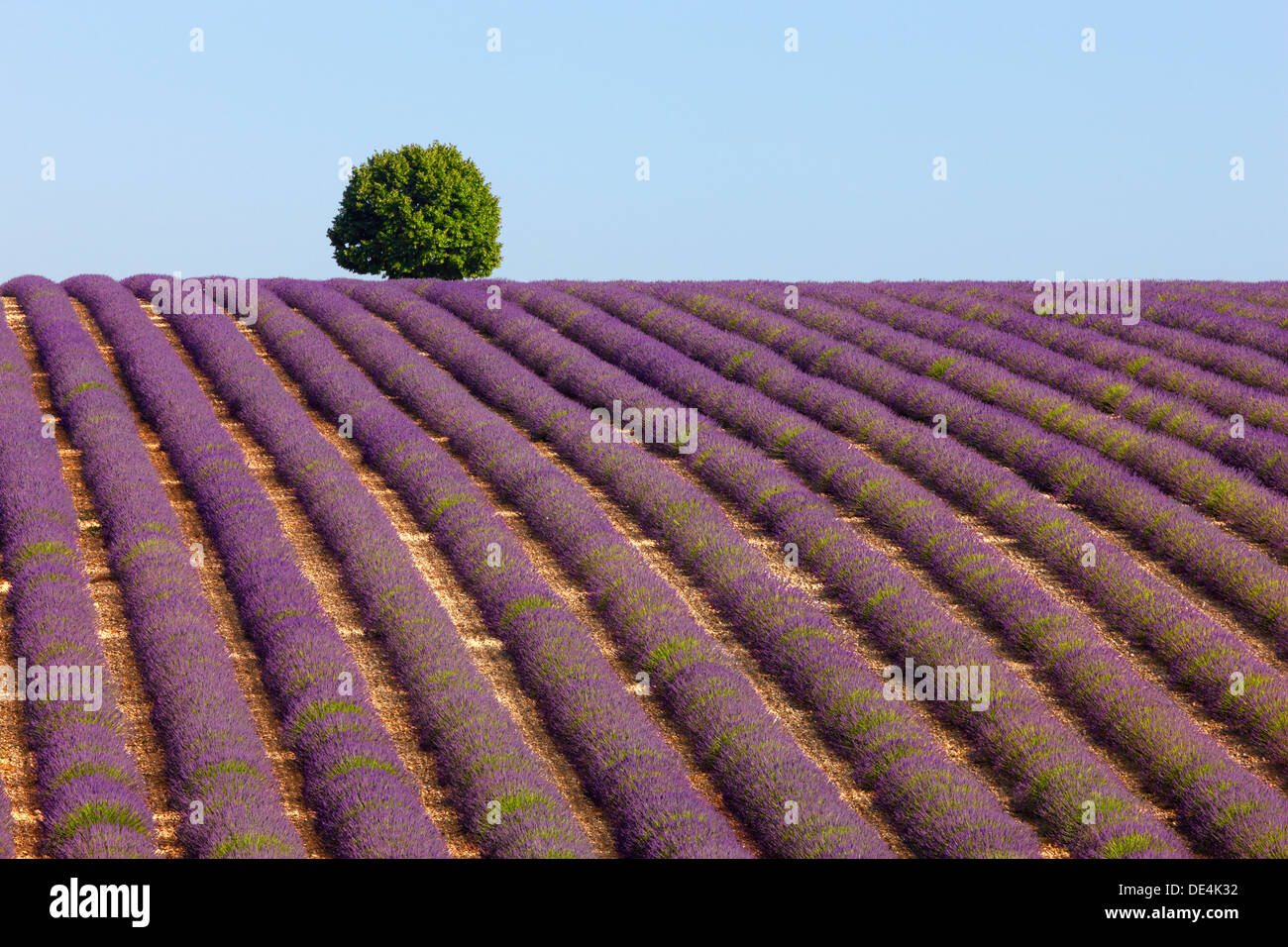 Tree on the top of the hill in lavender field. Provence, France. - Stock Image