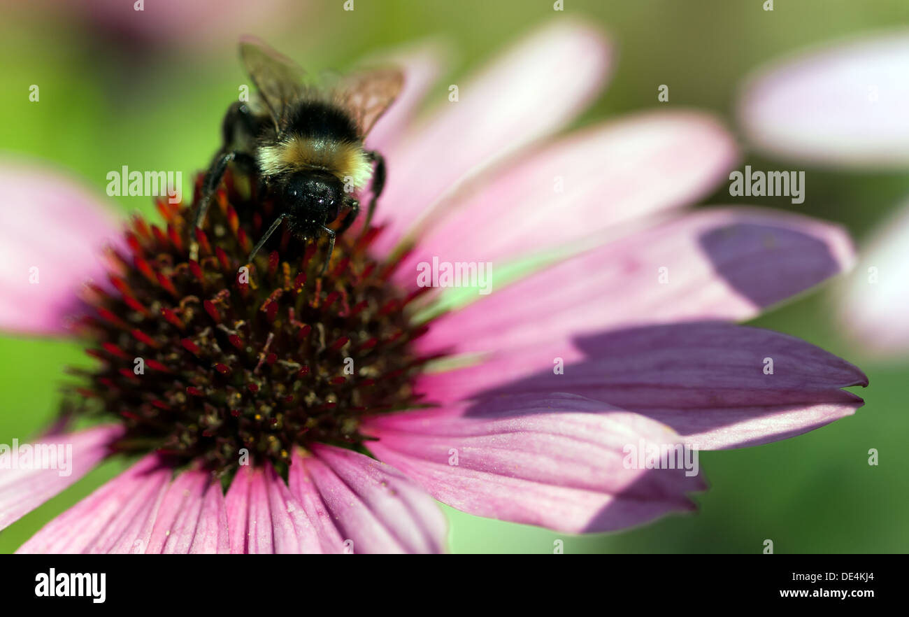 Close-up of a Bumble Bee collecting pollen from a Eastern Purple Coneflower (Echinacea purpurea 'Merlot') - Stock Image