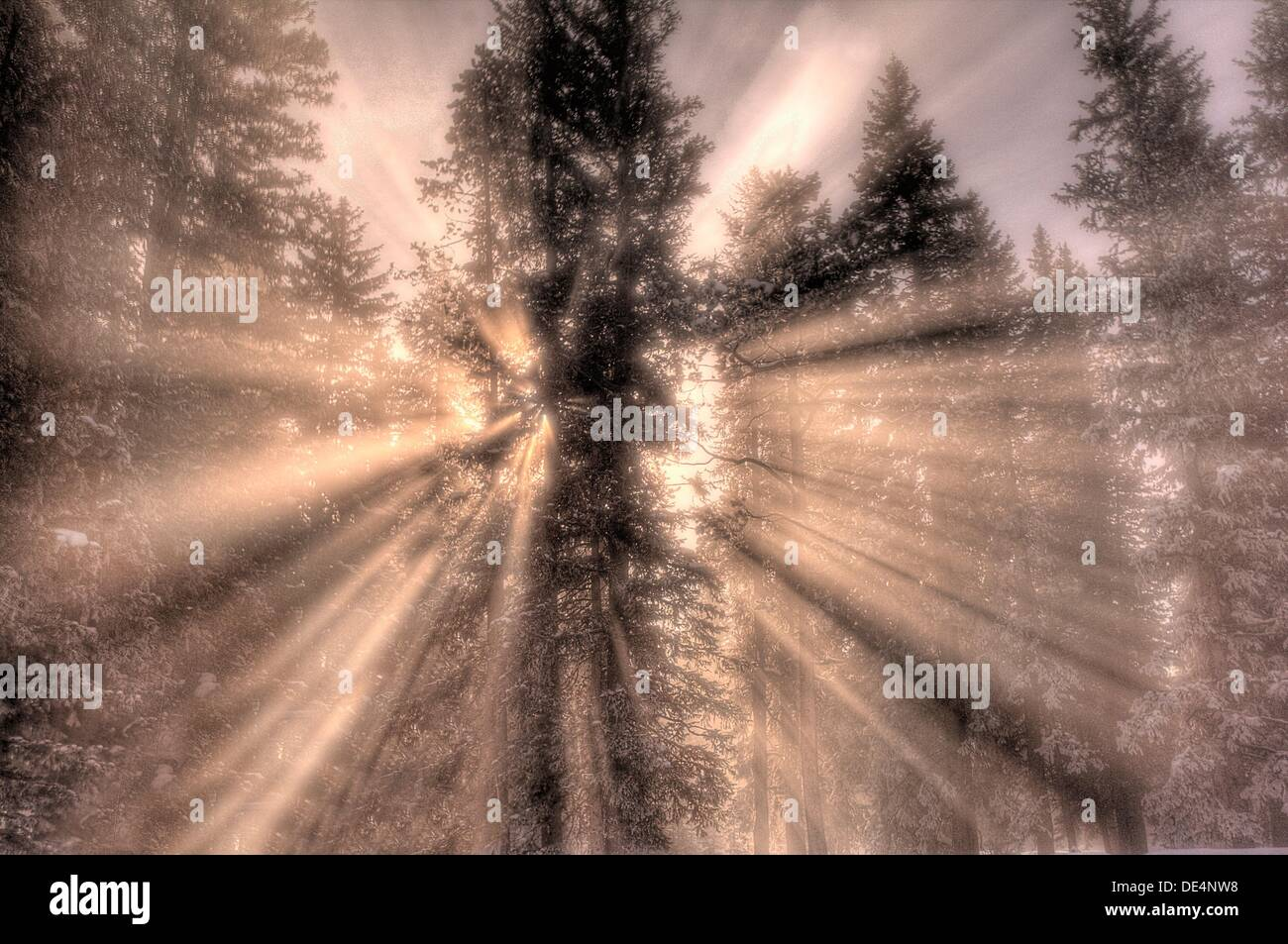 The morning sun bursts through the steam,fog and trees at Yellowstone National Park, Wyoming - Stock Image