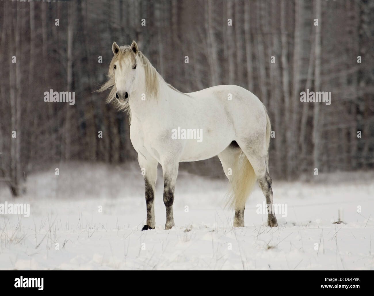 Lusitano horse in snow. Sweden - Stock Image