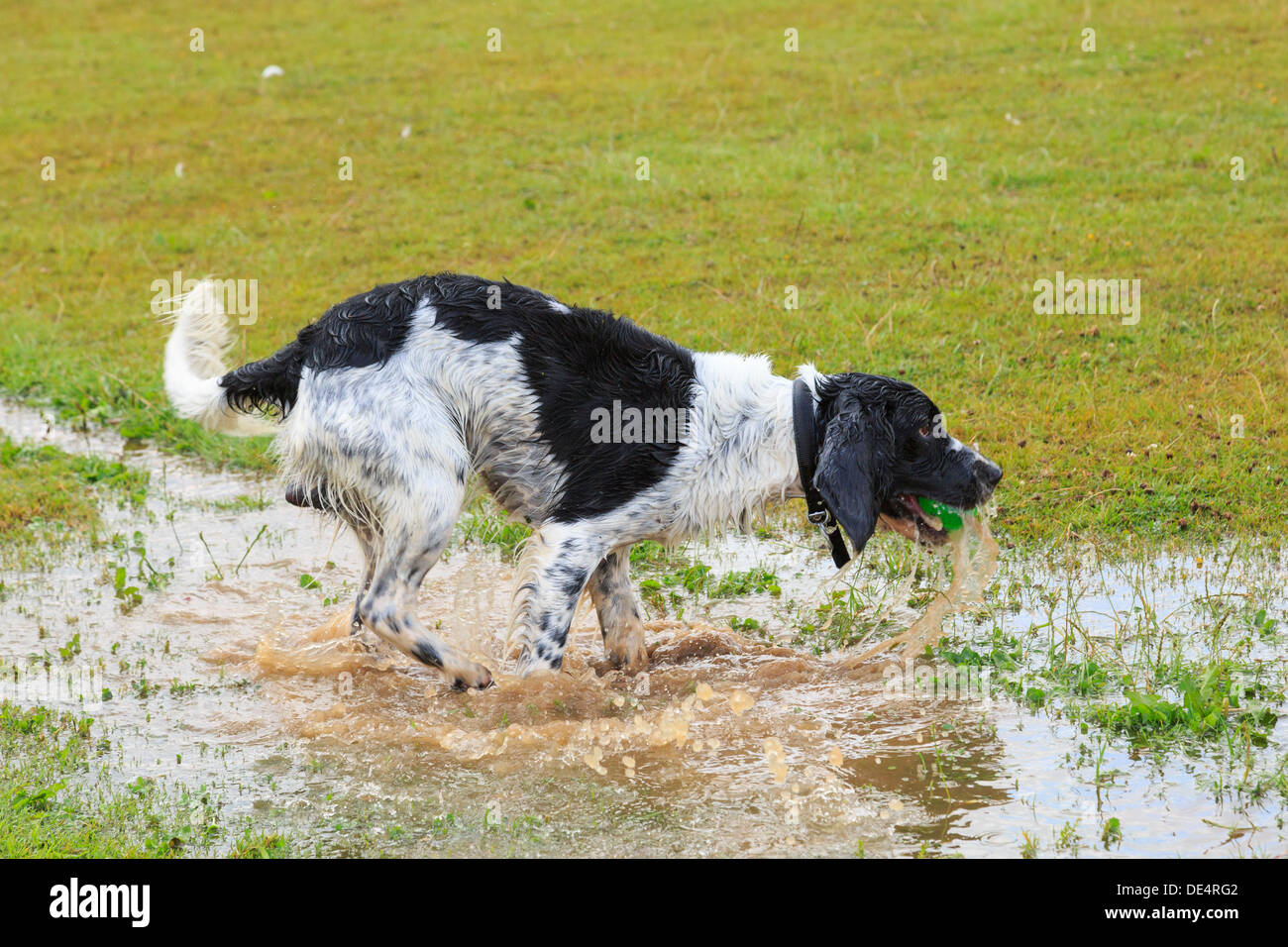 Soaking wet black and White English Springer Spaniel dog running in a puddle of water to retrieve a ball. England, Stock Photo
