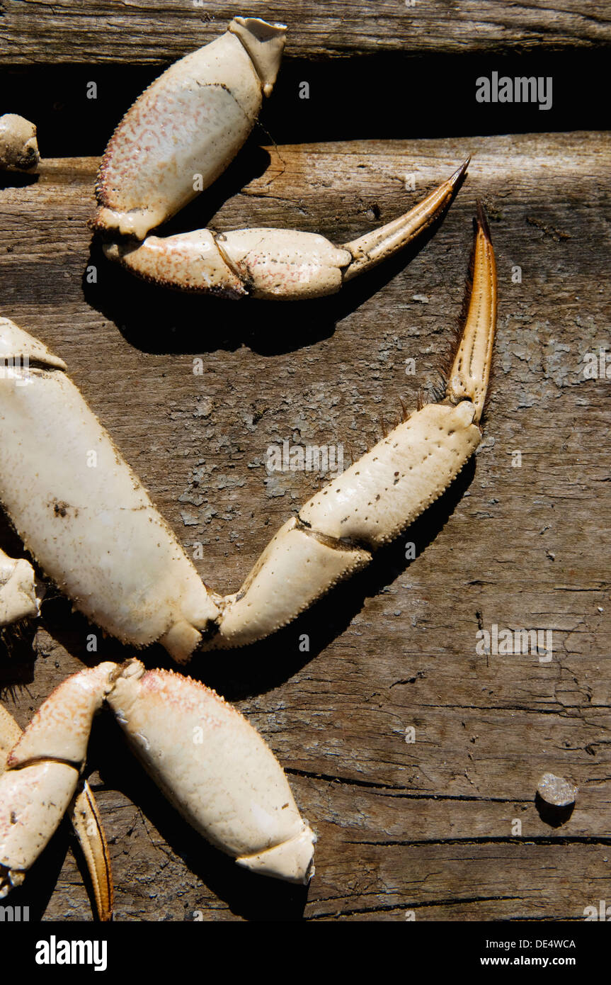 crab claws left behind on a dock - Stock Image