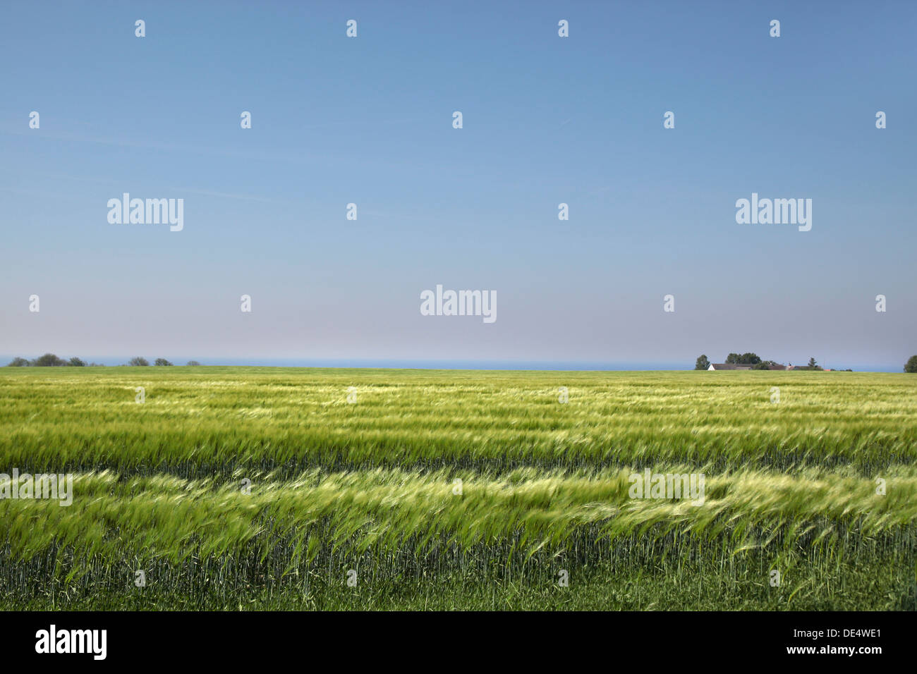 Field with green ears of corn near the sea on Bornholm, Denmark Stock Photo