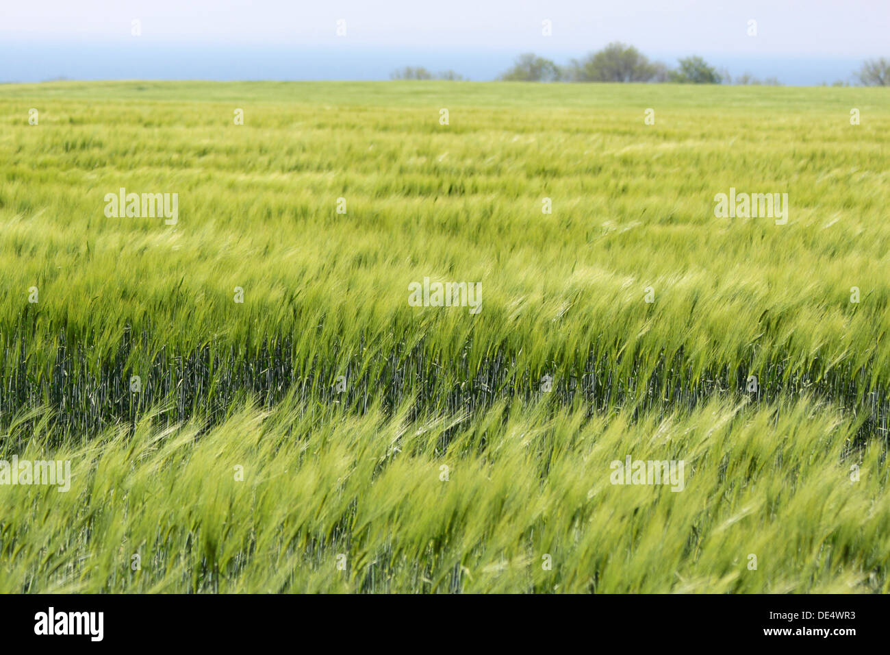 Field with green ears of corn on Bornholm, Denmark - Stock Image