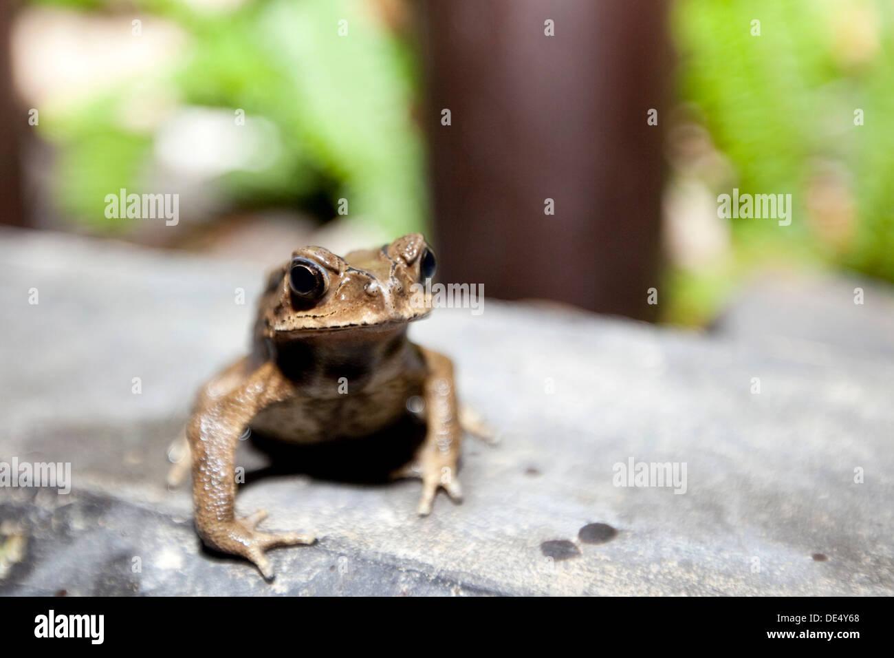 Toad (Bufonidae), Phuket, Thailand, Asia - Stock Image