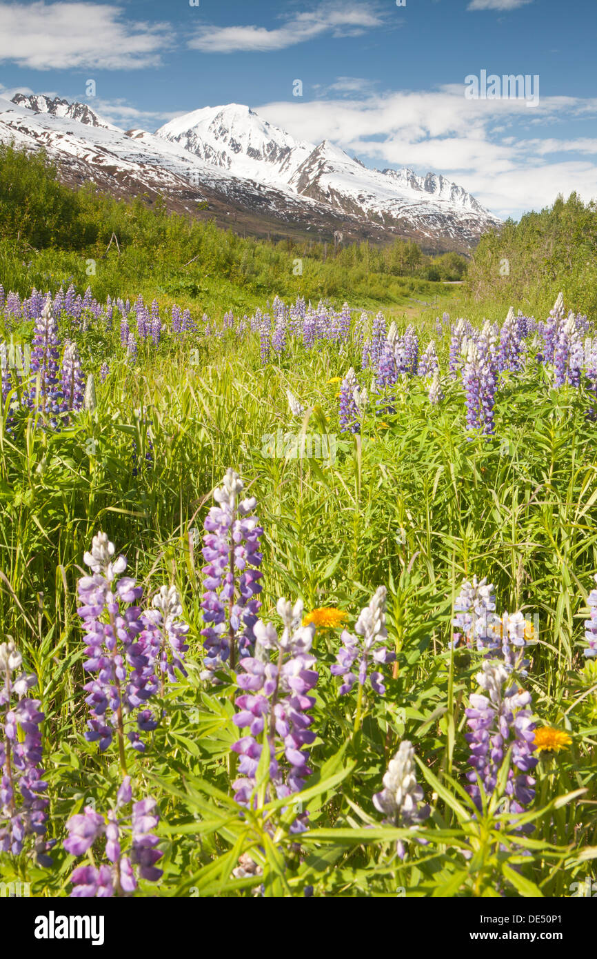Meadow of Nootka Lupines - Lupinus nootkiensis- in Richardson Highway, Alaska, U.S.A. - Stock Image