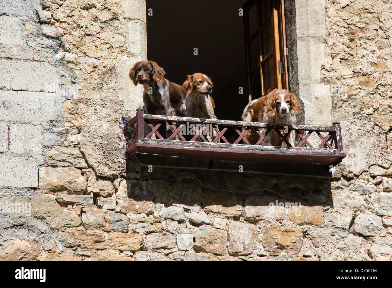 Three spaniel dogs peering over a balcony in Baume les Messieurs, Jura region of France - Stock Image