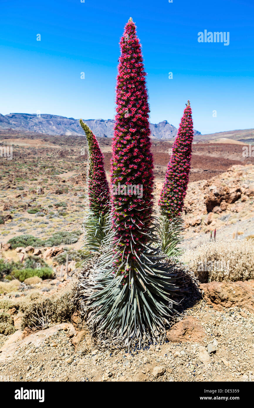 Tower of Jewels, Red Bugloss, Tenerife Bugloss or Mount Teide Bugloss (Echium wildpretii), in flower, Teide National Park - Stock Image