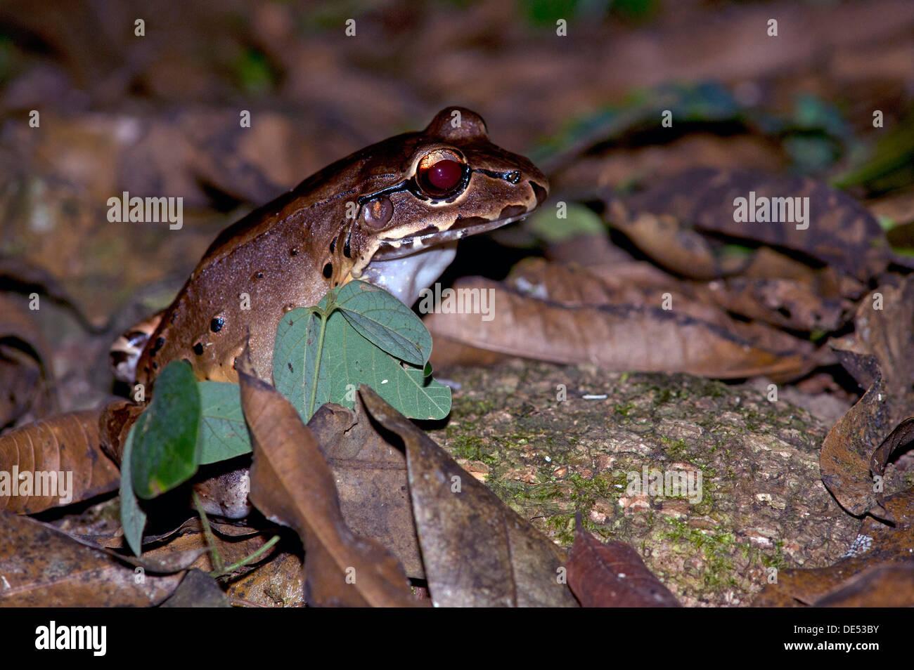 Savage's Thin-toed Frog (Leptodactylus savagei), Dos Brazos, Osa Peninsula, Puntarenas Province, Costa Rica, Central America - Stock Image