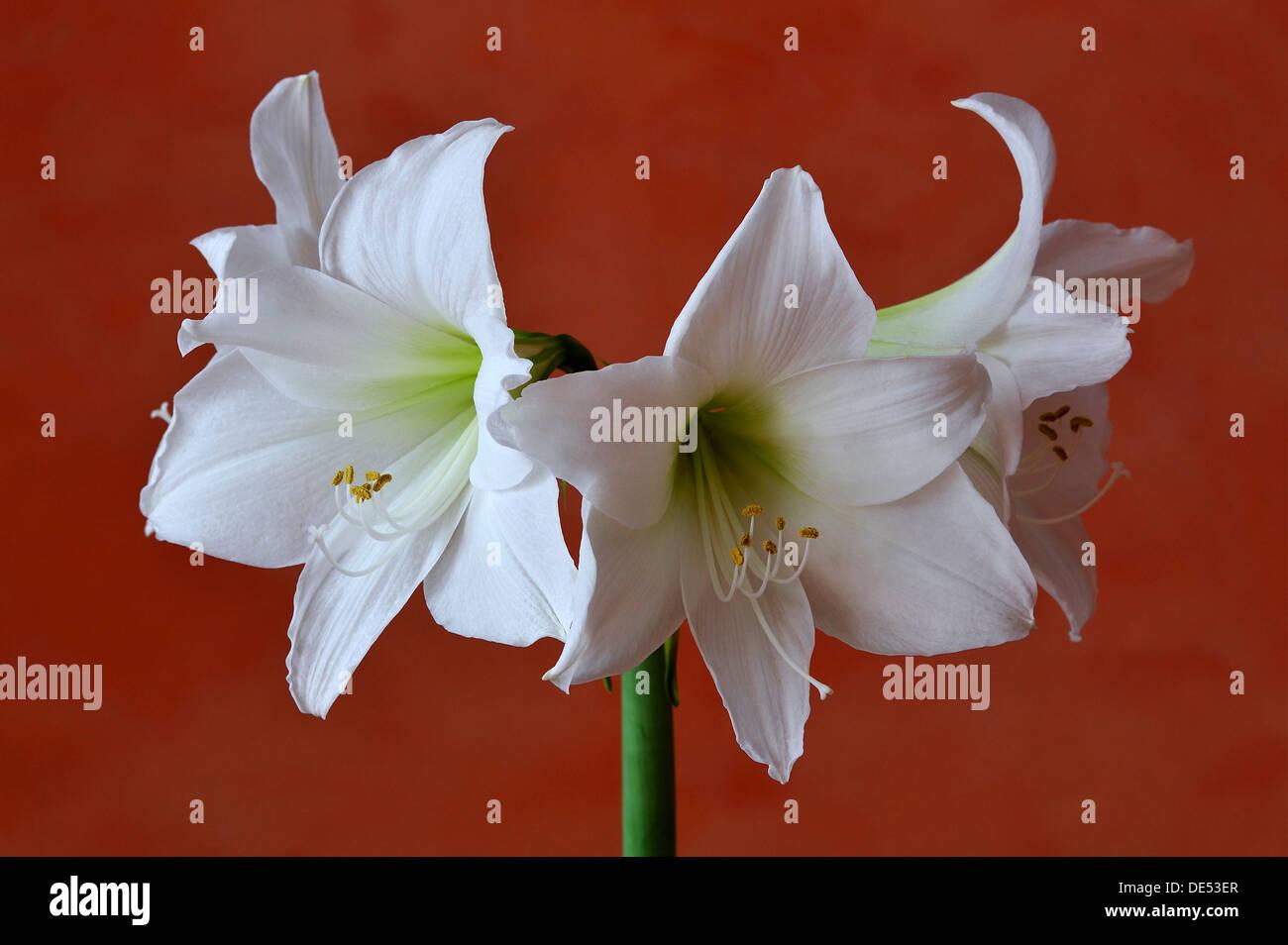 Flowering white Amaryllis (Hippeastrum) in a vase against an orange wall, Eckenhaid, Eckental, Middle Franconia, Stock Photo