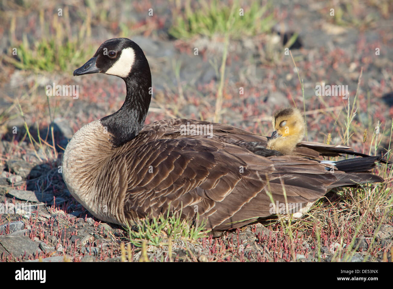Canada Goose - Branta Canadensis -, Anchorage Coastal Wildlife Refuge, Potter Marsh, Alaska, U.S.A. - Stock Image