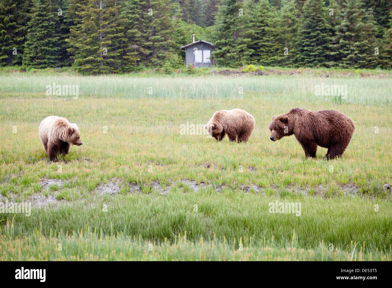 Family (mother with cubs) of grizzly brown bears - Ursus arctos -, Lake Clark National Park, Alaska, U.S.A. - Stock Image