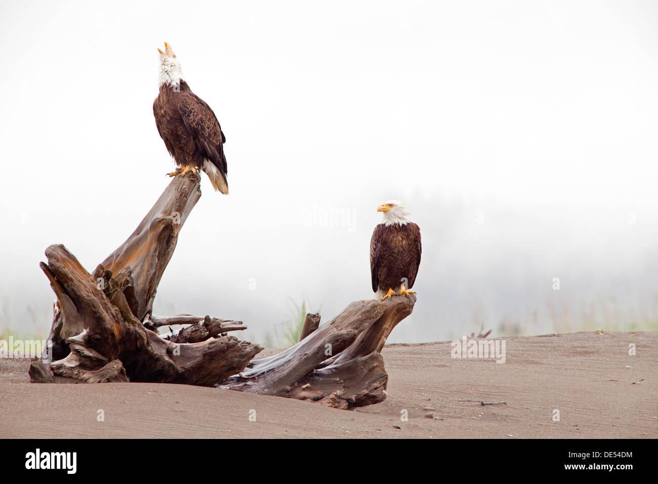 Bald eagle,- Haliaeetus leucocephalus -, Lake Clark National Park, Alaska, U.S.A. - Stock Image