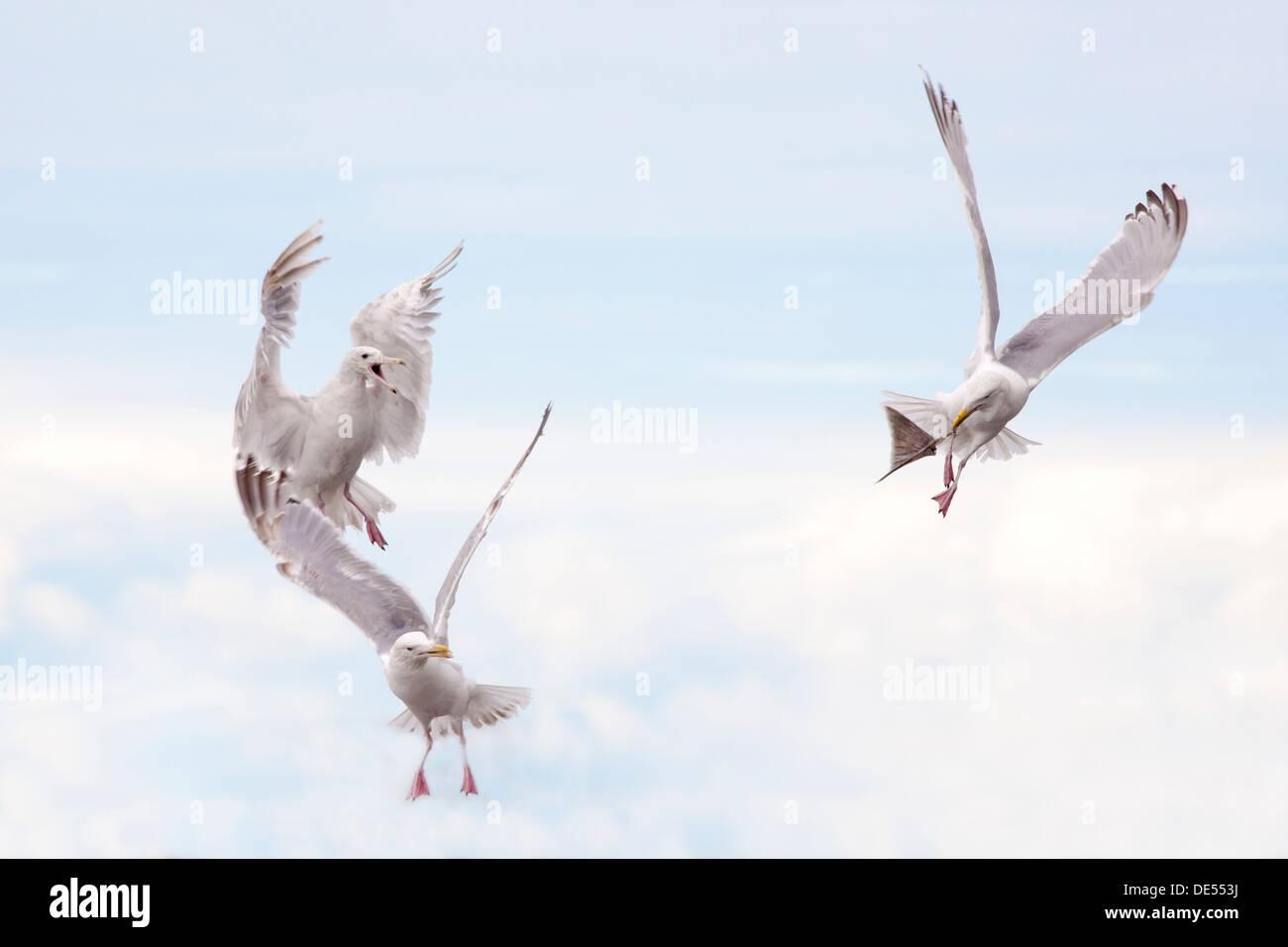 Glaucous-winged Gulls - Larus glaucescens -fighthing for food, Kenai Peninsula, Alaska, U.S.A. - Stock Image