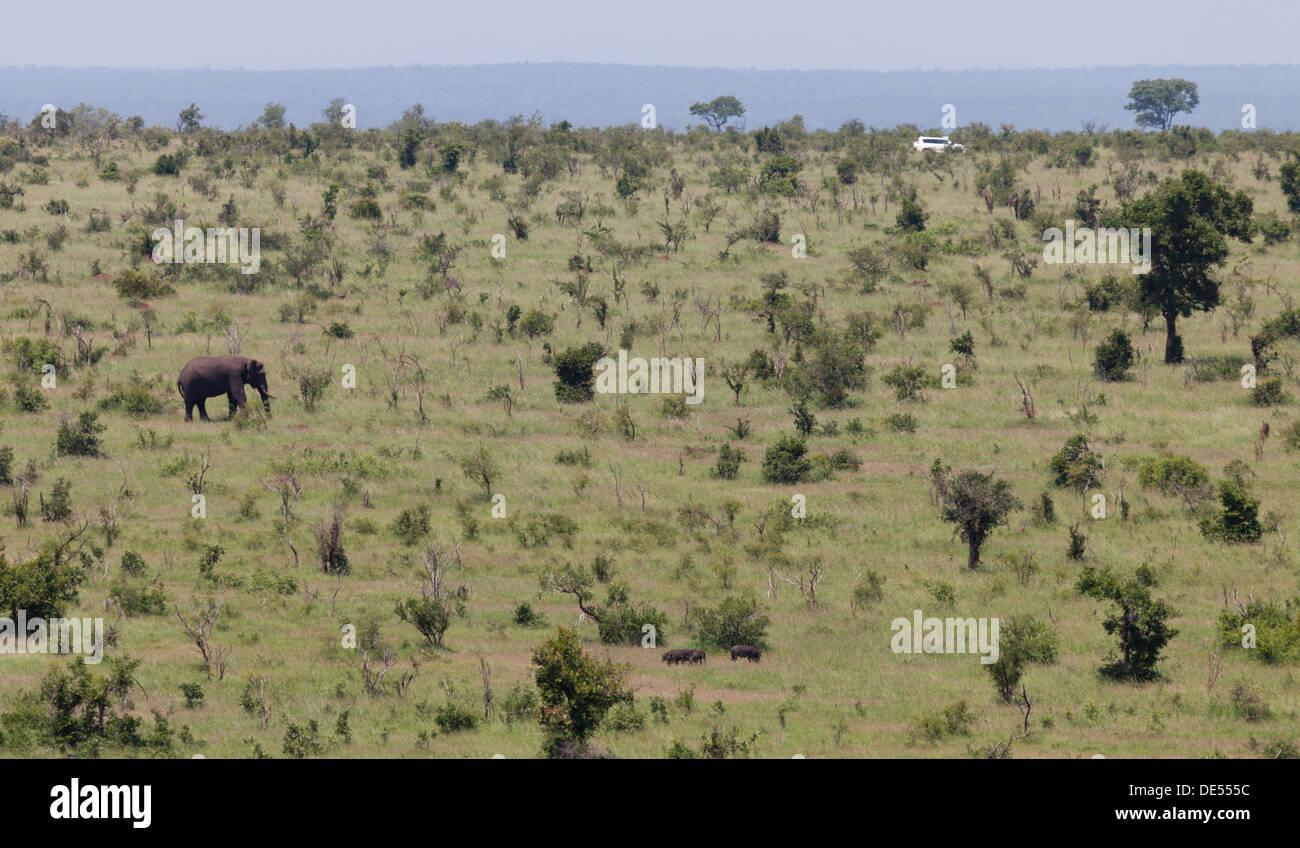 Lone elephant crossing the bushveld - Stock Image