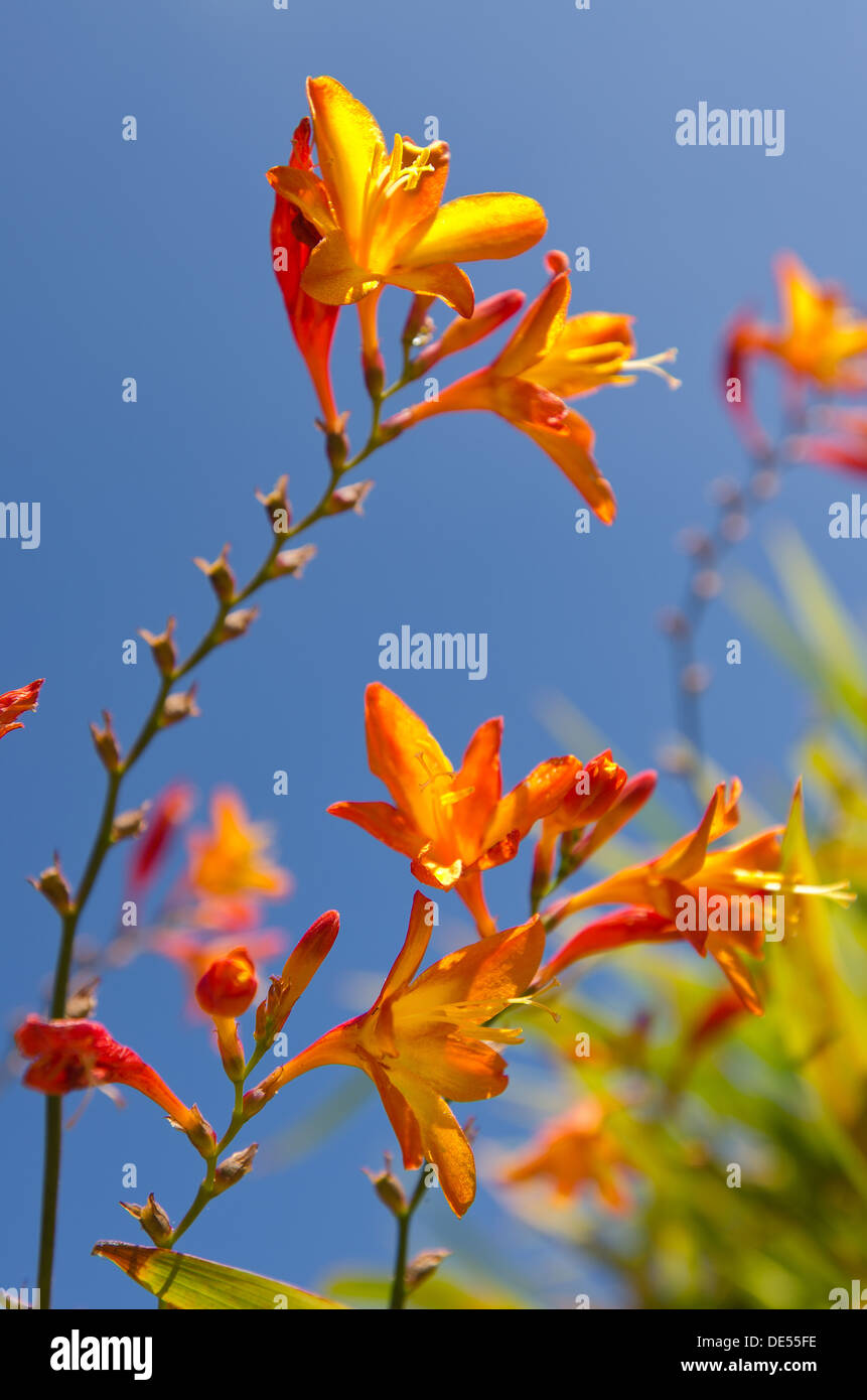 Crocosmia genus Iridaceae coppertips falling stars montbretia flowers against green  slender blade leaves blue sky Stock Photo
