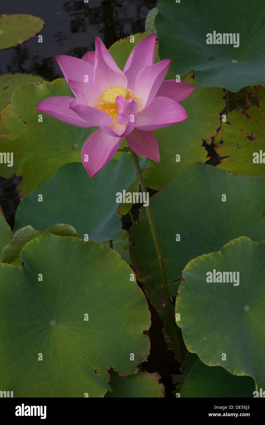 Open lotus flower at the brooklyn botanic garden brooklyn ny stock open lotus flower at the brooklyn botanic garden brooklyn ny izmirmasajfo