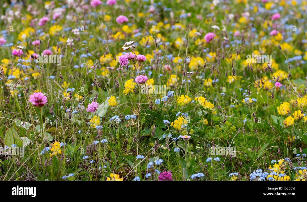 Wildflower meadow in the Dolomiti di Sesto National Park, Sexten Dolomites, Hochpustertal, High Puster Valley, South Tyrol - Stock Image