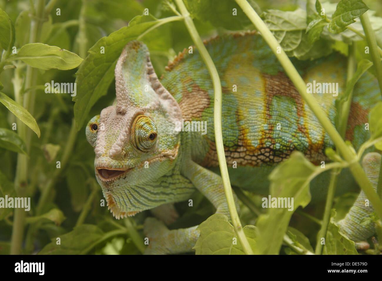 male yemen or veiled chameleon amongst plants Chamaeleo calyptratus - Stock Image