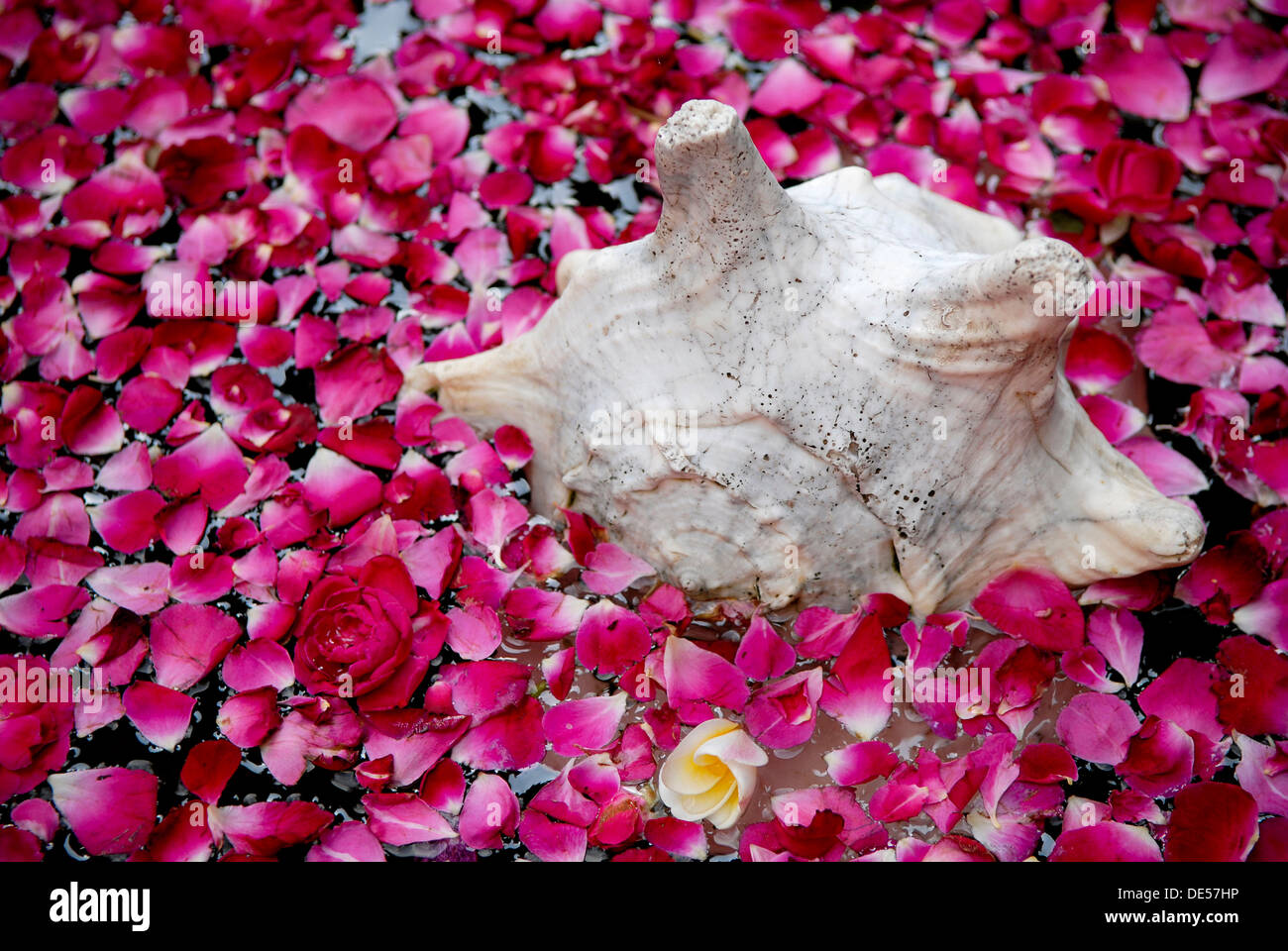 Shell and rose petals, Boutique-Hotel House of MG, India, Asia - Stock Image