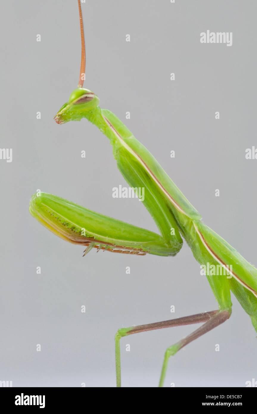 Mantis Head Stock Photos & Mantis Head Stock Images - Alamy